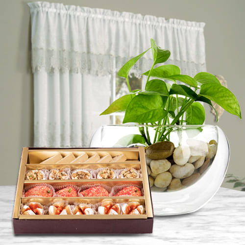 Remarkable Money Plant in Glass Pot with Haldirams Assorted Sweets