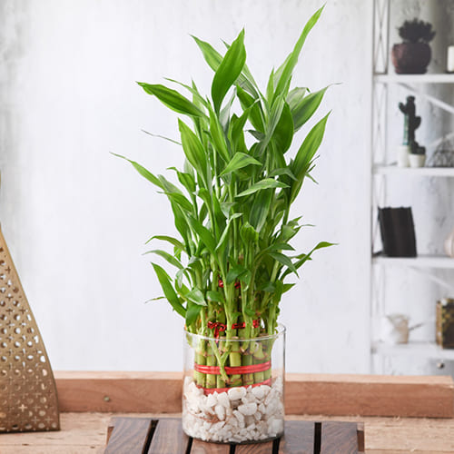 Indoor Present of 3 Tier Lucky Bamboo Plant in Glass Pot<br>