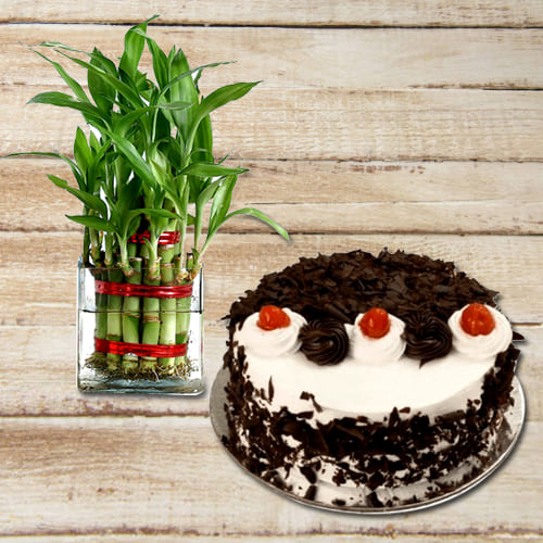 Attractive Birthday Present of Black Forest Cake with 2 Tier Lucky Bamboo Plant