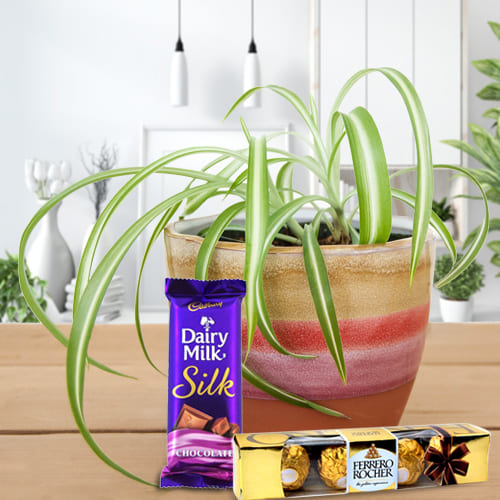 Charming Housewarming Present of Spider Plant in a Plastic Container with Cadbury Dairy Milk Silk and Ferrero Rocher<br>