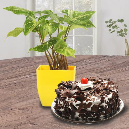 Exotic Indoor Decor Syngonium Plant with Black Forest Cake